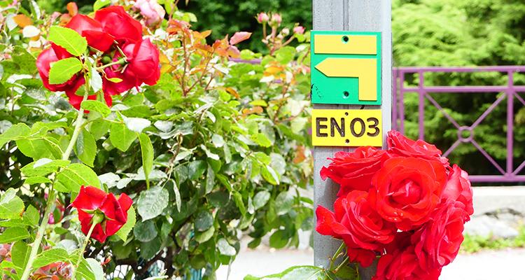 Roses rouge sentier de randonnée Maurienne
